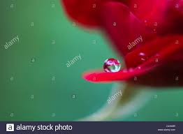 raindrop on red rose petals against a green background stock photo