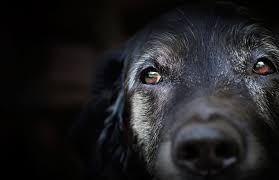 What Causes Dogs To Go Blind Common Eye Problems In Old Dogs Petcha