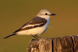 si e habitat pigliamosche nell habitat della natura uccello che si siede nell