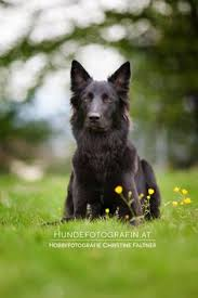 belgian shepherd breeds marli belgian sheepdog belgian shepherd dog and awesome dogs