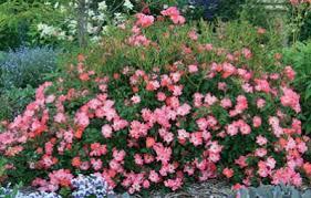 drift roses pink drift for sale brighter blooms nursery