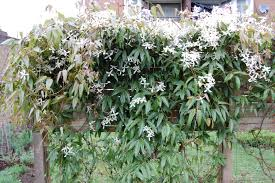 clematis armandii clematis evergreen and plants
