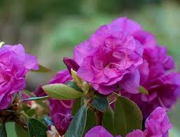 Flowering Shrubs New England - beautiful azaleas and rhododendrons for new england