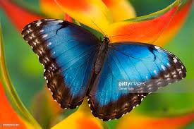blue morpho butterfly stock photos and pictures getty images