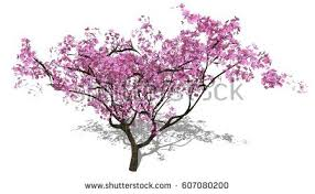 pink flower sour cherry tree isolated stock photo 270497513