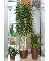 10 deluxe silver birch silk tree at officescapesdirect