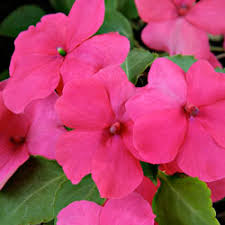 Long Blooming Annual Flowers - 100 long flowering annuals the easiest annuals to plant for