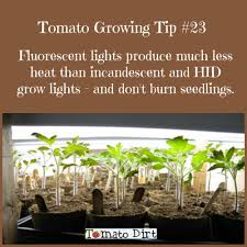 light requirements for growing tomatoes indoors using fluorescent grow lights to start seeds grow tomatoes indoors