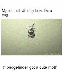 Moth Meme - my pet moth jimothy looks like a pug abridge find got a cute moth