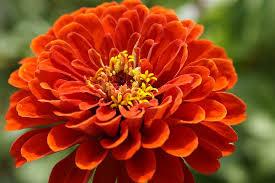 Zinnia Flower Free Photo Zinnia Flower Flower Garden Bloom Orange Blossom Max