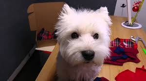 images of westie hair cuts westie after hair cut doggie angel style youtube