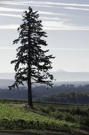 fir tree on firs tree silhouette and silhouette