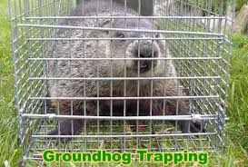 How Do You Get Rid Of Skunks In Your Backyard How To Get Rid Of Groundhogs Woodchucks In Garden Or Yard