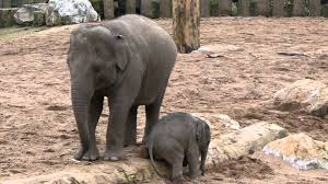 baby elephant at chester zoo youtube