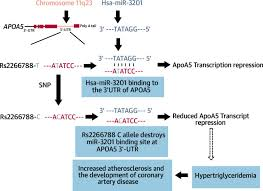 a functional variant in apoa5 a4 c3 a1 gene cluster contributes to