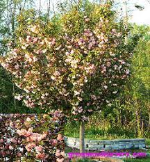 Flowering Cherry Shrub - kwanzan cherry tree flowering trees