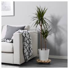 Ebay Kleinanzeigen Braunschweig Esszimmer Dracaena Marginata Pflanze Ikea