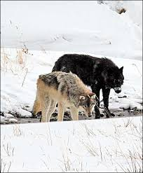 black and grey wolf yellowstone national park black and g flickr