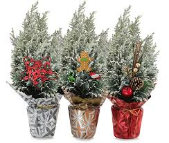 Decorative Pine Trees Holiday Trees Indoor Potted Plants European Pines Rocket Farms