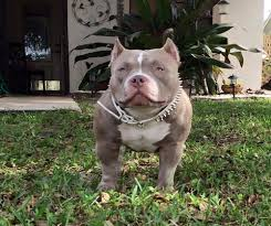 american pitbull terrier 5 months old what is the best food to bulk up my pit bull u0026 american bully