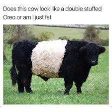 Cow Memes - double stuffed oreo cow meme imglulz funny pictures meme lol