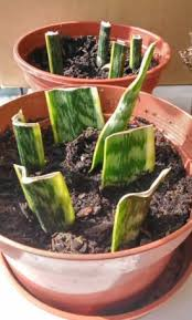 how to propagate house plants our house plants