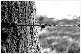 free images tree nature branch barbed wire black and white
