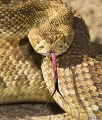 a defensive mojave green rattlesnake crotalus scutulatus