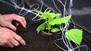 stop cucumber beetles in your garden youtube