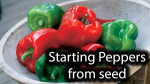 10 Tips For Growing Peppers by Growing Peppers From Seed Indoors 1 Youtube