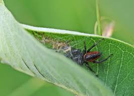 bug of the week archives page 6 of 14 riveredge nature center
