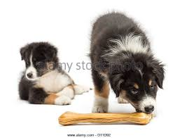australian shepherd puppy 2 months australian shepherd lying looking black stock photos u0026 australian