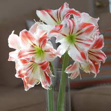 Amaryllis Flowers Amaryllis Bulbs