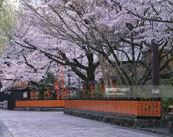 Japanese Cherry Blossom Tree by Japan Kyoto Prefecture Gion Shirakawa River Cherry Blossom Trees
