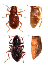 taxonomic key for the genera of elmidae coleoptera byrrhoidea
