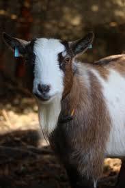 varndean goats u0026 rabbits