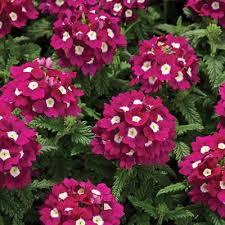 verbena flower verbena tuscany burgundy eye harris seeds