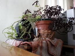 can you identify this plant sweet potato vine askjudy
