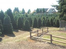 wholesale christmas trees the christmas tree man