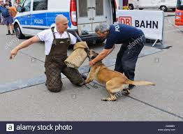 belgian shepherd los angeles k 9 unit stock photos u0026 k 9 unit stock images alamy