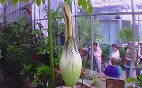 video everyone is waiting for this stinky flower to bloom