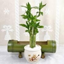 indoor plants singapore singapore florists potted plants live plants products