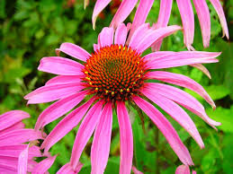 echinacea flower echinacea purpurea liquid extract woodland essence