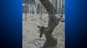 uk zoo welcomes baby giraffe cbs denver