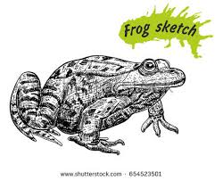 sketch frog toad frog drawing hand stock vector 651558280