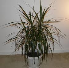 dracaena dracaena marginata native jungle