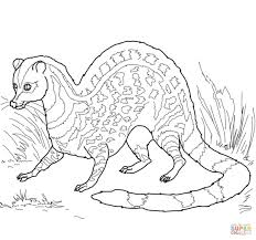 indian civet coloring page free printable coloring pages
