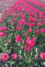 visiting the tulip fields in holland amsterdam and beyond