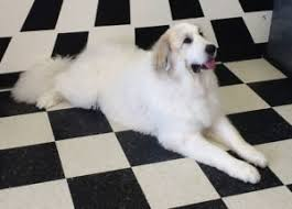 great pyrenees rescue provides wonderful dogs to good homes 30 minute down stay carolina great pyrenees rescue carolina great