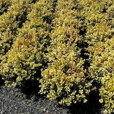 fall color shrubs arizona autumn